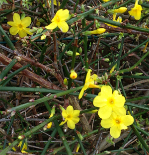 Jasmin D Hiver Jasminum Nudiflorum Arbuste Decoratif A Fleurs Jaunes