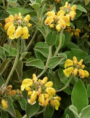 Phlomis fruticosa sauge de jerusalem arbuste floraison jaune - Arbuste floraison printaniere jaune ...