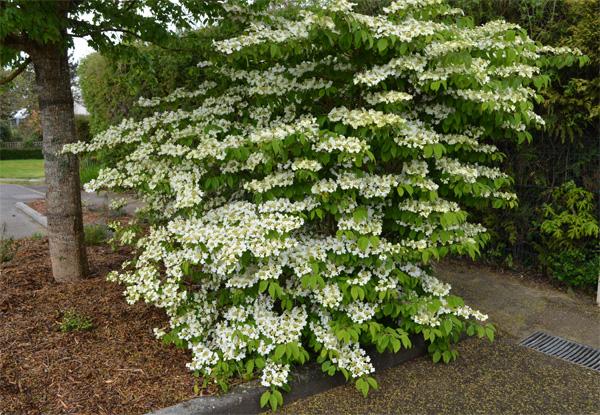 viorne de chine viburnum plicatum joli arbuste floraison blanche. Black Bedroom Furniture Sets. Home Design Ideas