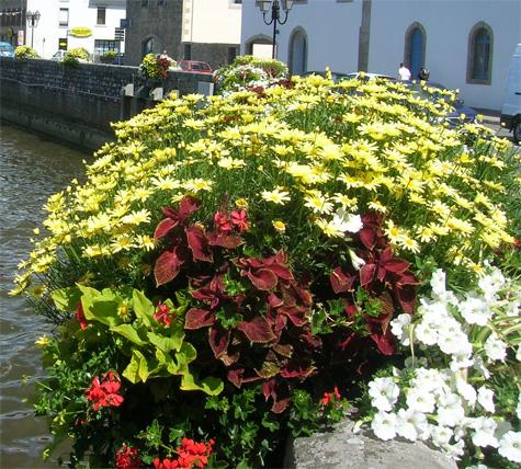 Coleus plante vivace feuillage d coratif - Fleur de jardiniere ...