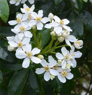 Arbuste petites fleurs blanches odorantes - Arbuste fleurs blanches feuillage persistant ...